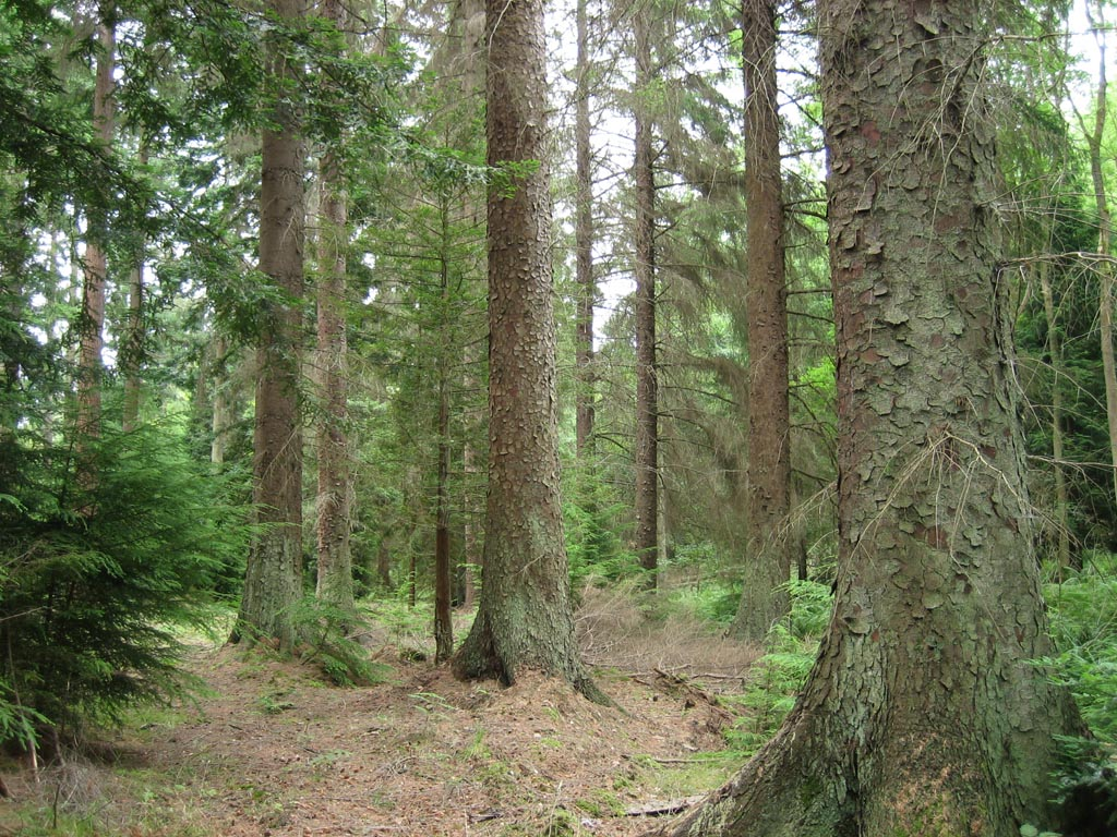 Picea sitchensis forest